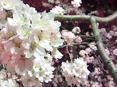 Sakura@Minamiosawa