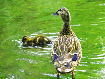 duck360