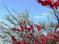 紅白の梅満開